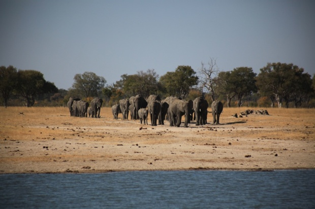 Elephant breeding herd going to water copy.jpg