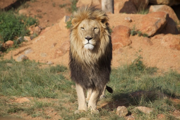 lion male port mws
