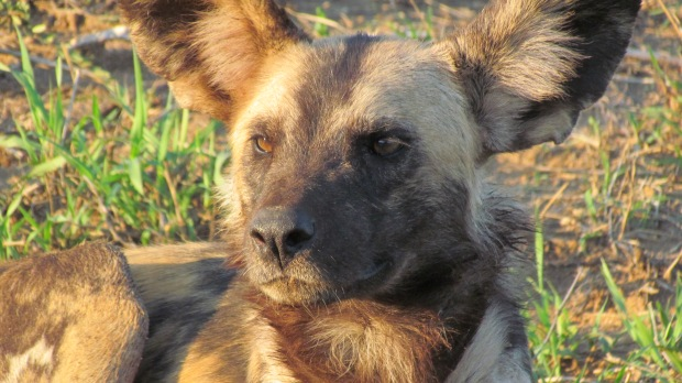 Wild dog up close IMG_3162