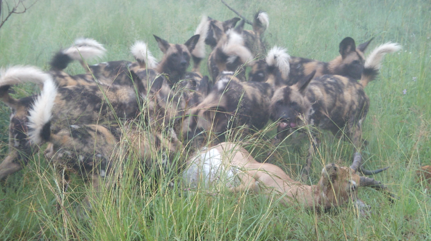 WILD DOGS AT KILL