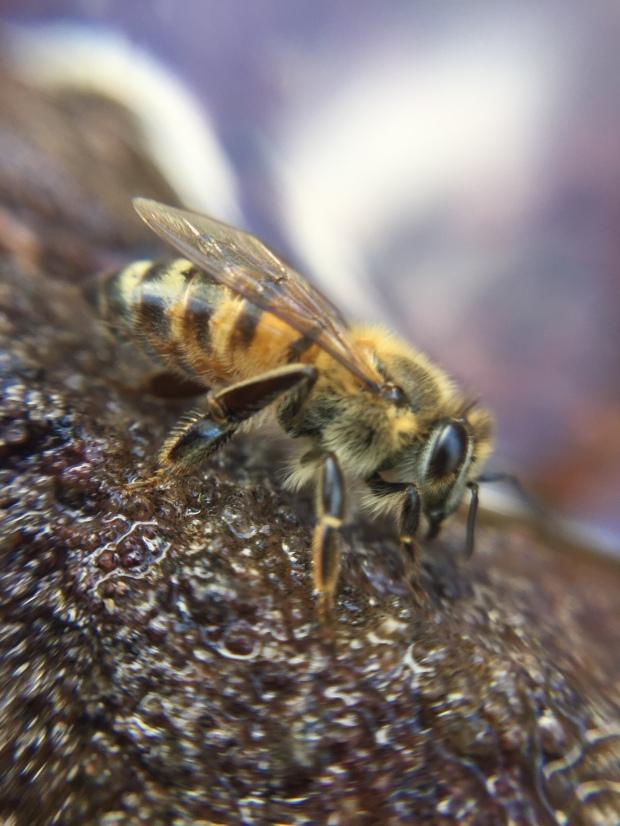 Nice bee IMG_0059